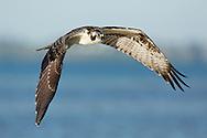 Osprey in flight over water, © 2014 David A. Ponton