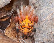 Marbled Orbweaver; Araneus marmoratus; under rotten log; PA, Philadelphia, Wissahickon Park