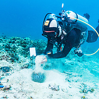 """Philippine dive guide Nhato Reuyan pours sand over a crown-of-thorns sea star. Although not an invasive species, outbreaks of this """"star fish"""" can contribute to coral reef declines as they are highly efficient at eating coral. The topic of killing them to help reefs is controversial."""