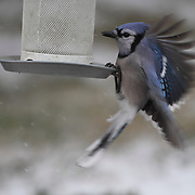 Blue Jay, Cyanocitta cristata, approaching a bird feeder in the snow. New Jersey, USA