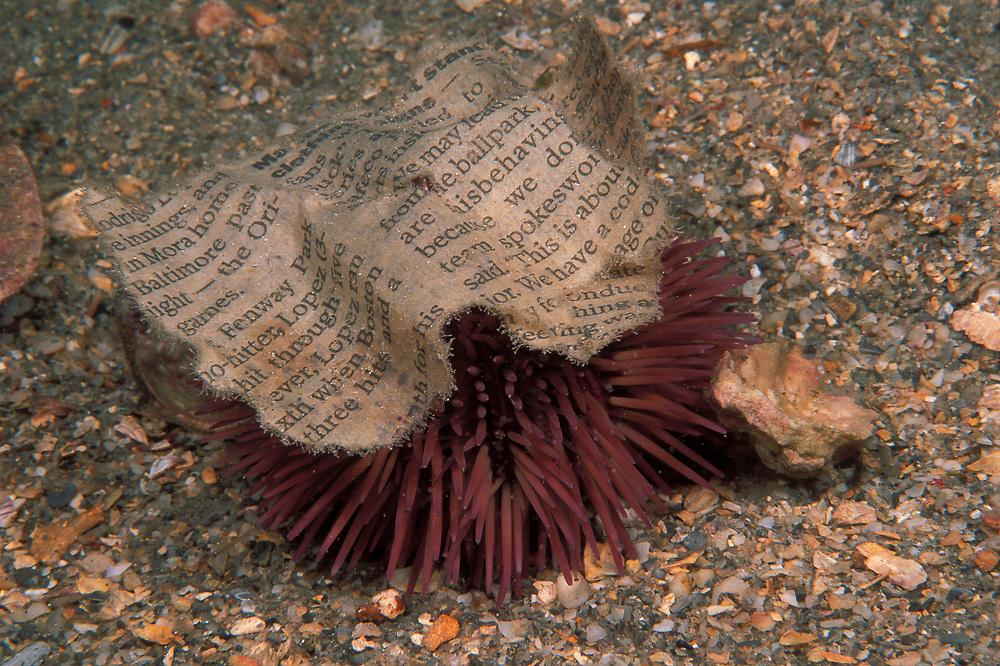 5374 Variegated Urchin (Lytechinus variegatus) with debris.TIF