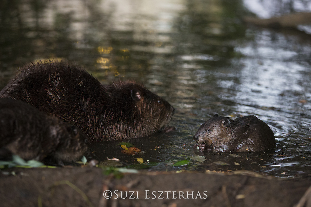 North American Beaver<br /> Castor canadensis<br /> Parent and eight-week-old kit<br /> Martinez, CA