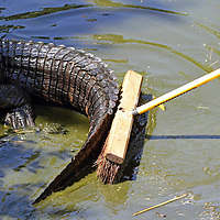 An American Alligator, Alligator mississippiensis, being pushed with a broom so that its pond may be cleaned. Cape May County Zoo, Cape May Courthouse, New Jersey, USA