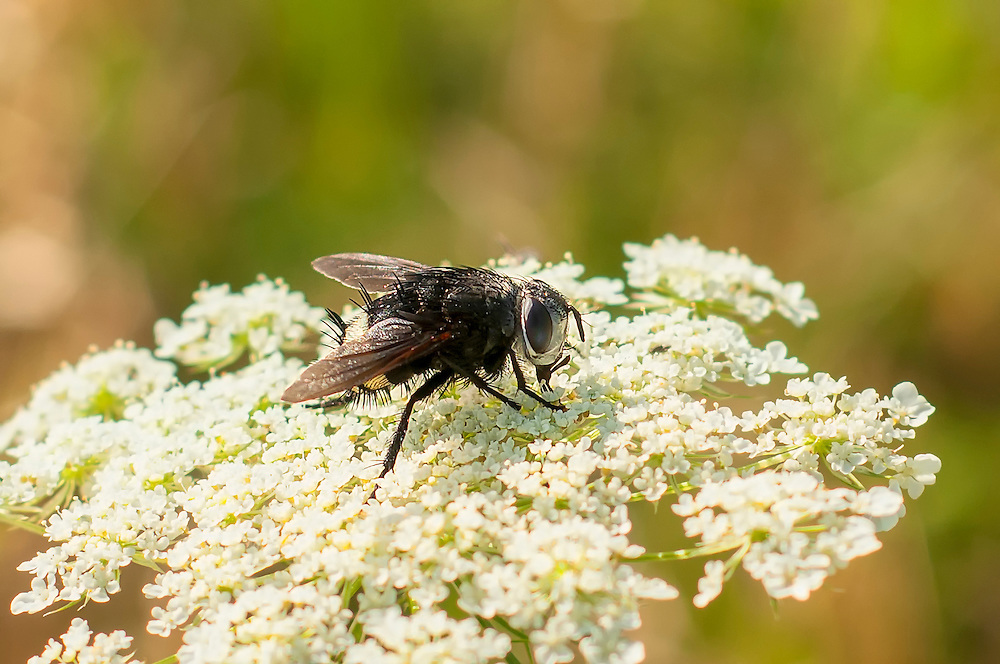 A tachinid fly feeds on the flowers of Queen Anne's lace outside of Imboden, Arkansas. These specialized true flies have a very interesting reproductive behavior. The eggs (or newly hatched larvae - depending on the species) is laid on a very unlucky host (usually a caterpillar) where the larvae bores into the body. It will begin to eat its host alive, eventually killing it, and soon after emerge as an adult, ready to breed and repeat the cycle.