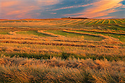 Canola swaths at sunset<br /> near Hodgeville<br /> Saskatchewan<br /> Canada