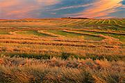 Canola swaths at sunset<br /> near Hodgeville<br /> Saskatchewan<br /> Canada