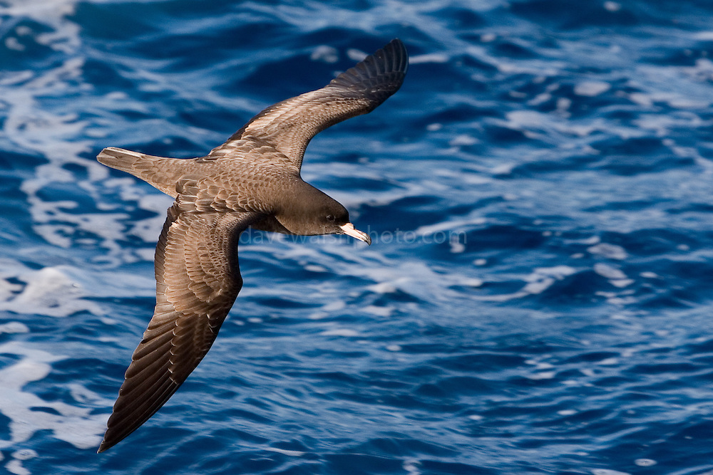 Flesh-footed shearwater off east coast of New Zealand