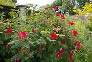 Rosa 'American Pillar in the Pillar Garden at Stockton Bury Gardens, Leominster, Herefordshire, UK