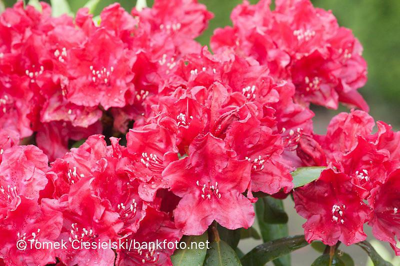 Rhododendron `Torero`