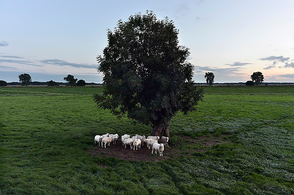 Nederland, Appeltern, 19-8-2014Schapen staan in het gras van de uiterwaarden langs de rivier de Maas.FOTO: FLIP FRANSSEN/ HOLLANDSE HOOGTE