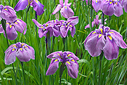 grouping of blooming iris flowers