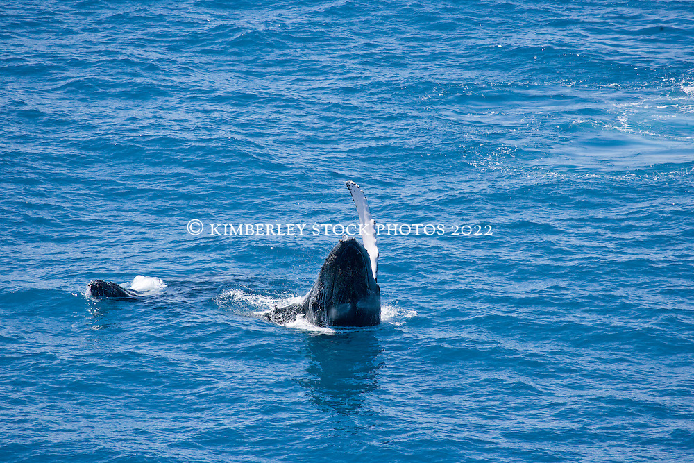 A humpback whale cow and calf swim off Broome's Cable Beach.