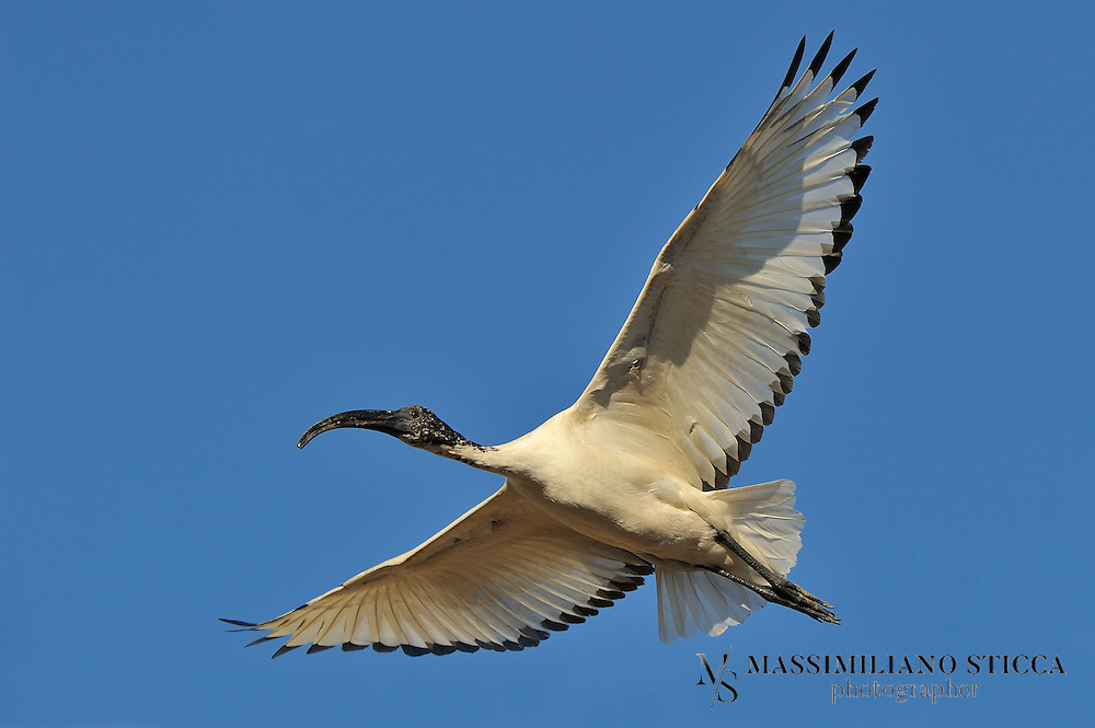 The African Sacred Ibis (Threskiornis aethiopicus) is a species of ibis. An adult individual is 68 cm long with all-white body plumage apart from dark plumes on the rump. The bald head and neck, thick curved bill and legs are black. The white wings show a black rear border in flight. Sexes are similar, but juveniles have dirty white plumage, a smaller bill and some feathering on the neck.
