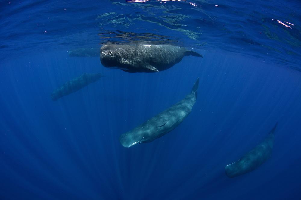 pod of sperm whales off Sri Lanka