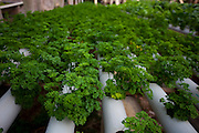 Itabirito_MG, Brasil...Horta hidroponica. Na foto, producao de salsas...hydroponic garden. In this photo, the parsley production...Foto: LEO DRUMOND / NITRO