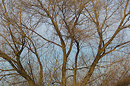 Barren tree branches in winter, Merced National Wildlife Refuge, Central Valley, California