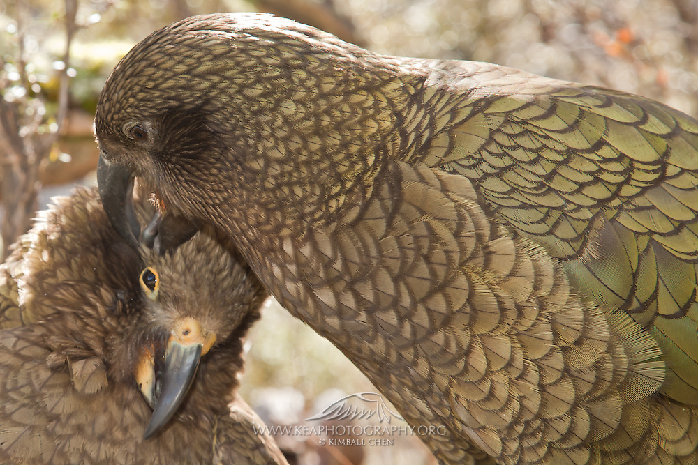 Kea, adult preening juvenile, New Zealand