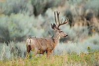A Mule Deer stands on a ridge in a mountain valley in Utah.