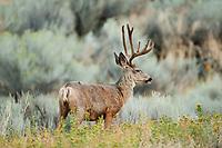 A Mule Deer stands on a ridge in a mountain valley in Utah.