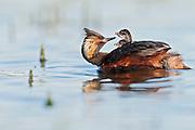 Eared Grebes, Podiceps nigricollis, adult feeding invertebrate to chick, South Dakota