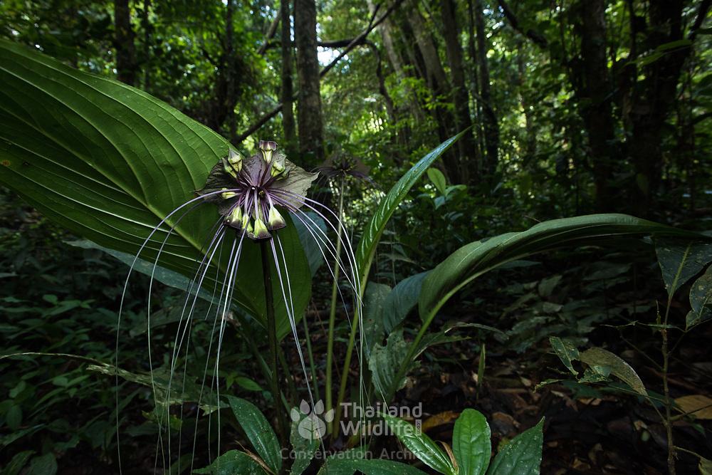 Black Bat Flower (Tacca Chantrieri Andre') in the evergreen forest of Kaeng Krachan national park, Thailand