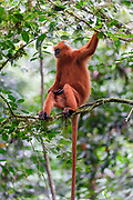 Male of the Red Leaf Monkey (Presbytis rubicunda) from Danum Valley, Sabah, Borneo.