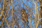 Great gray owl (Strix nebulosa) in trembling aspen tree<br />Bowsman<br />Manitoba<br />Canada