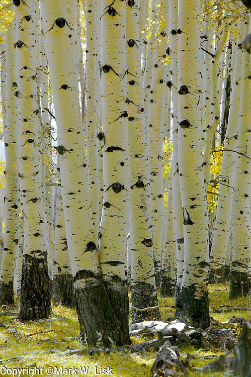 Warm light and aspen trunks create graphic pattern in the Boulder Mountains of southern Utah's Dixie National Forest.
