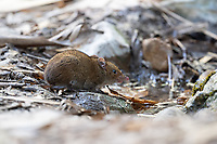 The short-tailed gymnure (Hylomys suillus) is a small mammal from the family of the Erinaceidae. This mammal is active both day and night. The species lives in hill and montane forests up to 3,000m, but sometimes in humid lowland forests. It feeds mainly on insects on the ground but it also takes some fruit sometimes. They normally don't live any longer than 2 years.