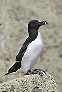 Razorbill - Alca torda.  L 41cm. Bulky seabird with distinctive bill and essentially black and white plumage. Swims well and flies on whirring wingbeats. Sexes are similar. Adult in summer has black head, neck and upperparts, and white underparts; note white wingbar. Bill is large and flattened with vertical ridges and white lines. In winter, similar but throat and cheeks are white and bill is smaller. Voice Mostly silent. Status Locally common on rocky coast seabird colonies in W and N. Nests under boulders and in crevices on cliff ledges. Pelagic outside breeding season; healthy birds seldom seen close to land. Vulnerable to oil spills.