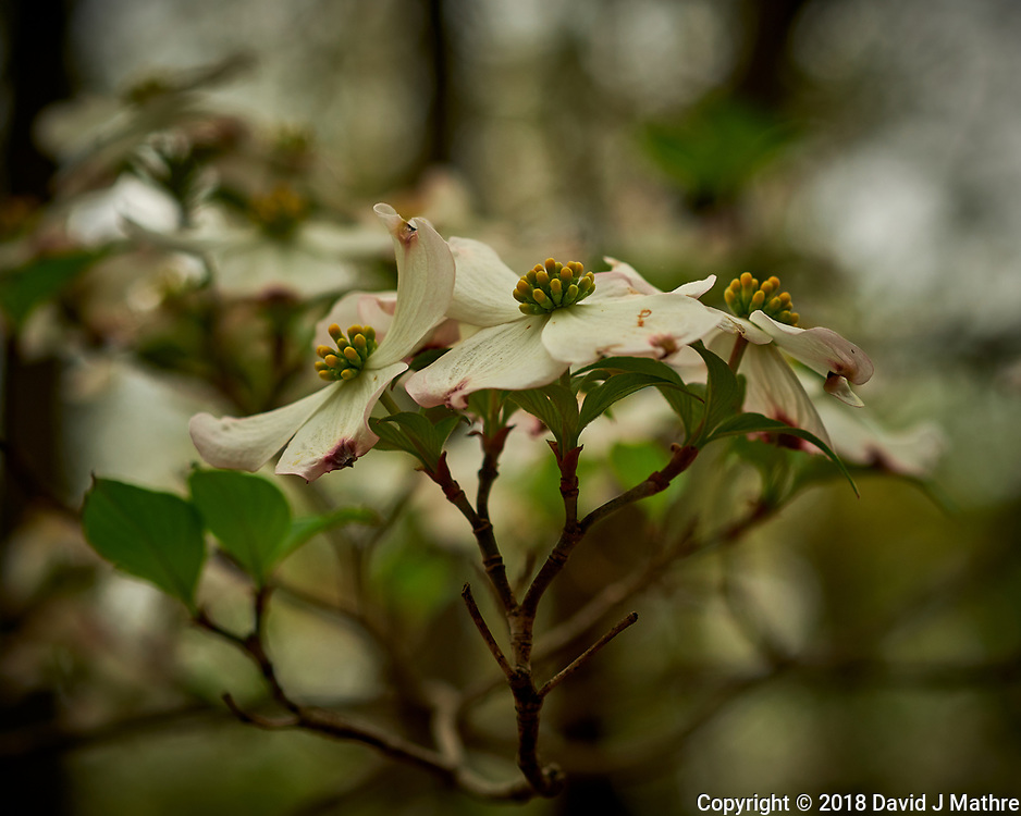 Dogwood Flower. Image taken with a Fuji X-H1 camera and 60 mm f/2.4 macro lens.