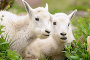 Portrait of Mountain Goat (Oreamnos americanus) twins, Northern Rockies