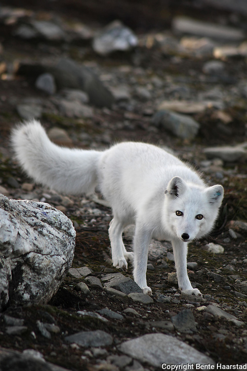 De åtte fjellrevparene på Sæterfjellet avlsstasjon på Oppdal fikk 69 valper i år, og alle skal settes ut i ulike fjellområder i vinter. Arctic fox (Vulpes lagopus). The most endangered mammal in Scandinavia. In Norway it was only about 50 individuals left when they started breeding on wild animals. 2010 is very successfull with 69 pups from eight couples. All the young ones will be transferred to the wild this winter. Supported with extra feeding. Bødi 07.