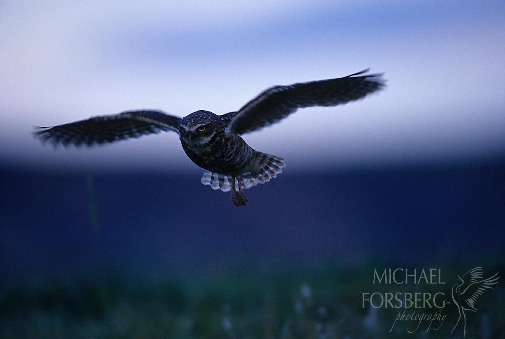 Conata Basin, Buffalo Gap National Grassland, South Dakota..Burrowing Owl in flight back towards nest burrow in prairie dog town at twilight