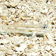 Patch-Reef Goby inhabit mid-range clearwater areas of sand near patch reefs in Tropical West Atlantic; picture taken Key Largo, FL.