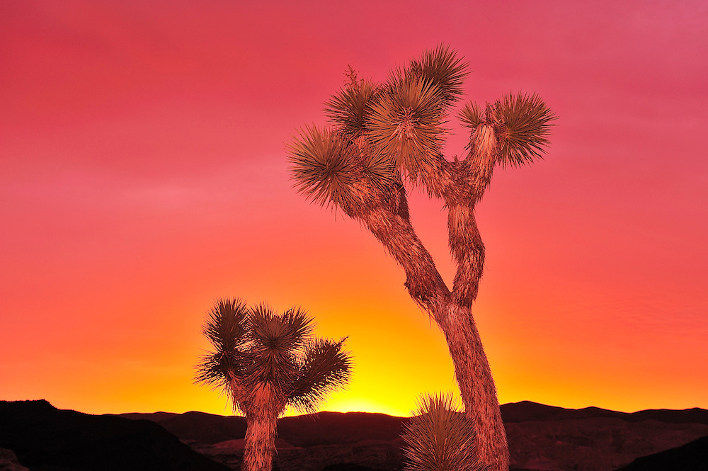 Sunset behind Joshua Trees, Red Rock Canyon State Park, California, USA