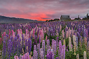 A dawn chorus of lupins on the first day of summer, with the Church of the Good Shepherd behind.  Lake Tekapo, New Zealand