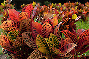 Colorful Croton leaves in Hawaii