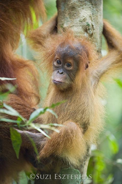 Sumatran Orangutan<br /> Pongo abelii<br /> 6 month old baby<br /> North Sumatra, Indonesia<br /> *Critically Endangered