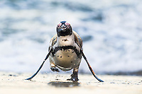 African Penguin walking out of the water, Bettys Bay Marine Protected Area, Western Cape, South Africa