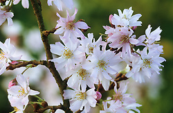 Prunus x subhirtella 'Autumnalis' - winter flowering cherry.