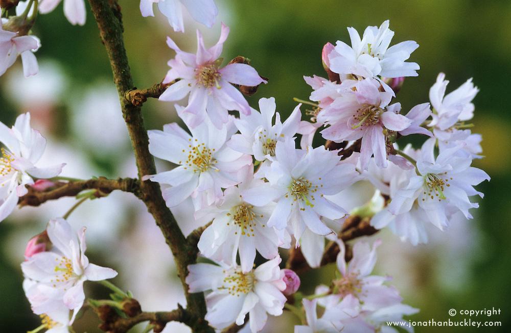Prunus x subhirtella 'Autumnalis' - winter flowering cherry.