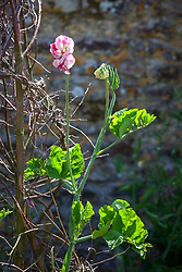 Lathyrus odoratus 'Jacko'. Sweet pea. Showing lack of tendrils and unusual leaf form