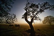 Sunrise through the fog in the oak woodlands near Folsom, California.