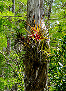 Bromeliad epiphyte growing on the side of a tree in Big Cypress National Preserve in southern Florida.