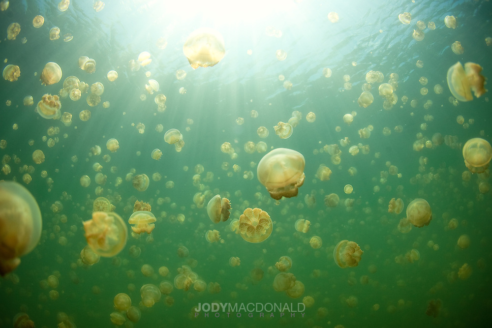 Floating in another world millions of stingless jellyfish in Palau rise to the surface every day to photosynthesize algae that they grow themselves so they can feed.  Truly one of the world's most wonderful sights.