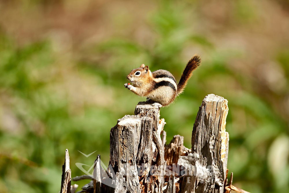 A Uinta Chipmunk sits on a dead stump eating the fruit from a berry bush at the base of the stump.