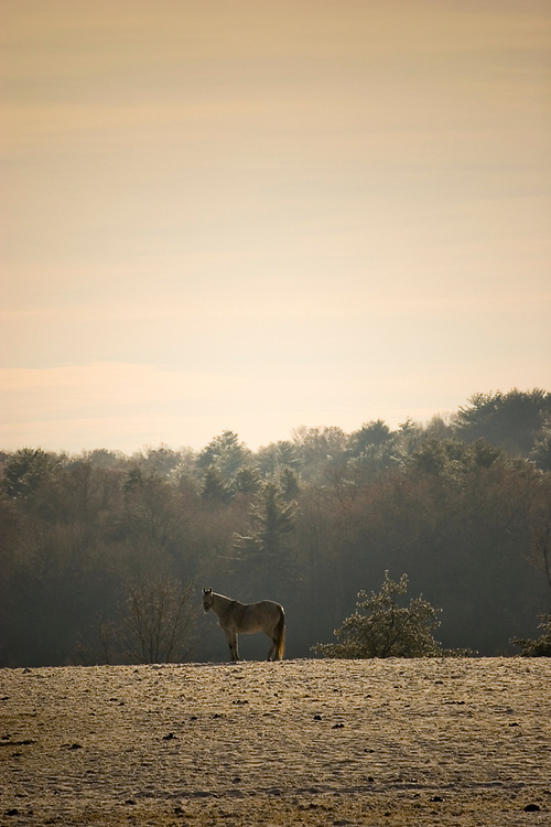 An aged horse standing in an open field in the morning sun.