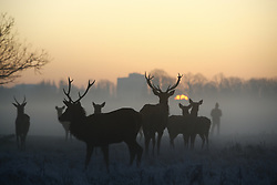 © Licensed to London News Pictures. 06/02/2020. London, UK. Deer graze at first light in Bushy Park in south west London. After a period of clear and cold days, rain and wind are forecast for the next few days as the UK feels the effects of Storm Ciara. Photo credit: Peter Macdiarmid/LNP
