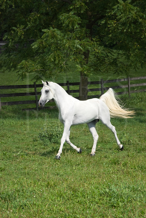 White Arabian stallion trotting around a green summer pasture while flagging his tail.